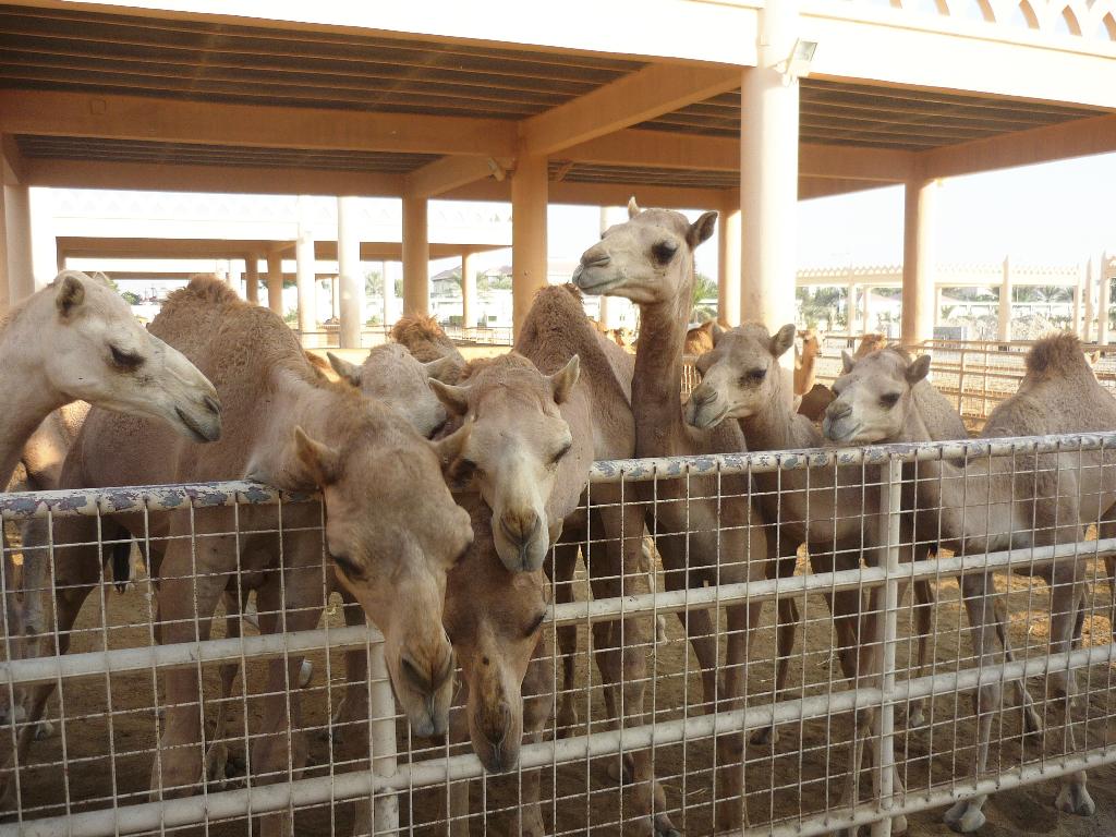 Camels, Bahrain